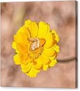 Desert-marigold Moth Canvas Print