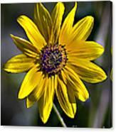 Desert Sunflower Canvas Print