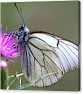 Detail Of A Butterfly In Alto Tajo Canvas Print