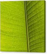 Detail Of Banana Leaf Andromeda Canvas Print