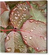Dew Drops On The Rose Leaves Canvas Print