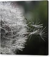 Dew On Dandelion Canvas Print