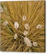 Dew On Ornamental Grass No. 3 Canvas Print