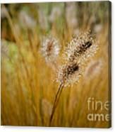 Dew On Ornamental Grass No. 4 Canvas Print