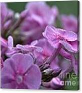 Dew On Phlox Canvas Print