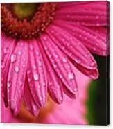 Dewdrop Daisy Canvas Print