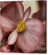 Dewy Pink Painted Begonia Canvas Print
