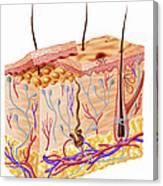 Diagram Showing Anatomy Of Human Skin Canvas Print