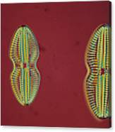 Diatom - Navicula Canvas Print