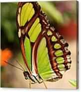 Dido Longwing Butterfly Canvas Print