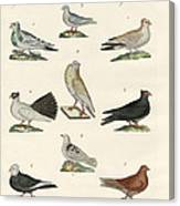 Different Kinds Of Pigeons Canvas Print