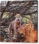Dingo In The Wild V5 Canvas Print