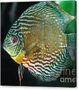 Discus Symphysodon Discus Canvas Print