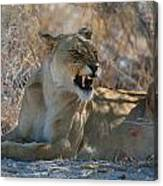 Disgruntled Lioness Canvas Print