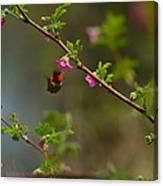 Distant Hummingbird Canvas Print