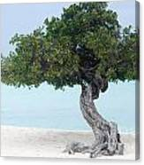 Divi Divi Tree In Aruba Canvas Print