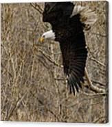 Diving Eagle Canvas Print