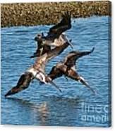 Diving Pelicans Canvas Print