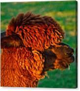 Do You Like My New Haircut Alpaca Canvas Print