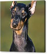 Doberman Pinscher Dog Canvas Print