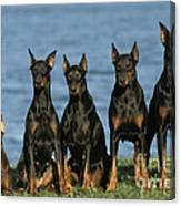 Doberman Pinschers Canvas Print