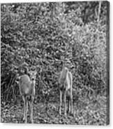 Doe A Deer Bw Canvas Print