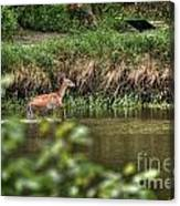 Doe Crossing The River Canvas Print