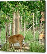 Doe Watching Canvas Print