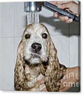 Dog Taking A Shower Canvas Print