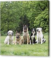 Dogs, Various Breeds In A Line Canvas Print