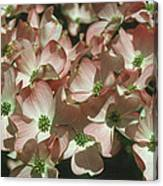 Dogwood 1 Canvas Print