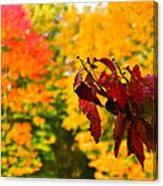 Dogwood And Fall Colors Canvas Print
