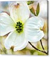 Dogwood Blossom - Digital Paint I  Canvas Print