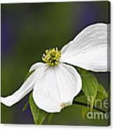 Dogwood Blossom - D001797 Canvas Print