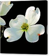 Dogwood Blossoms Painted For Jerry Canvas Print