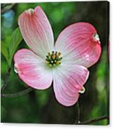 Dogwood Blosssom Canvas Print