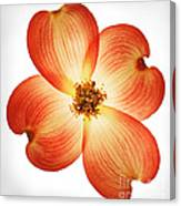 Dogwood Flower Canvas Print