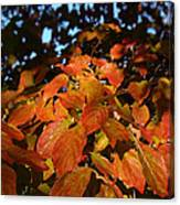 Dogwood In Autumn Colors Canvas Print