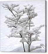 Dogwood In Snow Canvas Print