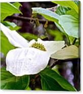 Dogwood In Yosemite Valley-2013 Canvas Print
