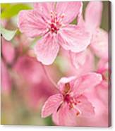 Dogwood Tree Bloom Close Up In Spring Canvas Print