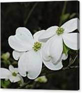 Dogwood Tree Blooms Canvas Print
