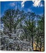 Dogwoods And Dramatic Sky Canvas Print