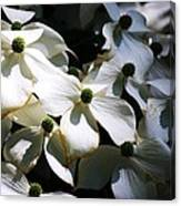 Dogwoods Caught In Central Park Canvas Print