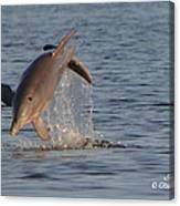 Dolphin I Mlo Canvas Print