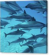 Dolphins Spinners Canvas Print