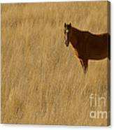 Domestic Horse   #5332 Canvas Print