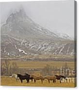 Domestic Horses   #2645 Canvas Print