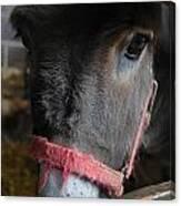 Donkey Behind Fence Canvas Print
