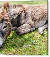 Donkey On Grass Canvas Print
